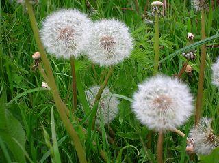 kugelrund von unten gewachsen: Pusteblume