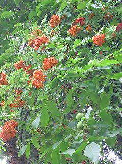 kugelrunde Früchte: Vogelbeere (Eberesche) und Walnuss
